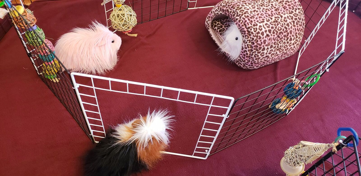 top view of inner circle for guinea pig floor time